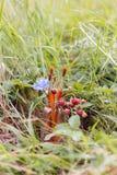 Cinq pinceau, chicorée de fleur et fraises dans un pot sur images libres de droits