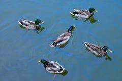 Cinq platyrhynchos d'ana de canards de canard de mâles nageant sur le wate Image stock