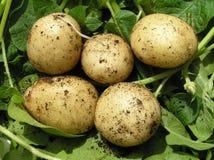 Cinq pommes de terre de primeurs, fond vert Images stock
