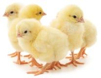 Cinq poulets photographie stock