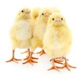 Cinq poulets image stock