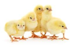 Cinq poulets image libre de droits