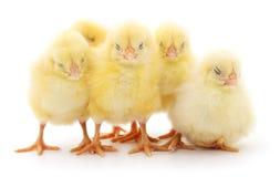 Cinq poulets jaunes images libres de droits