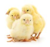 Cinq poulets jaunes image stock