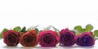 Cinq roses étendues côte à côte image stock
