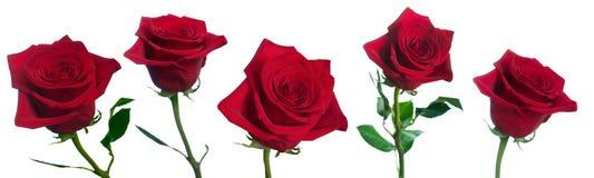 Cinq roses photos libres de droits