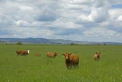 Cinq vaches. photographie stock
