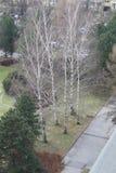 Cinque alberi di betulla maturi in parco Immagini Stock Libere da Diritti