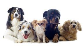 Cinque cani fotografia stock