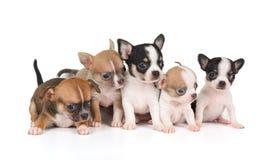 Cinque cuccioli della chihuahua Fotografia Stock