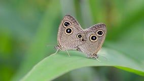 Cinque farfalle degli anelli immagini stock