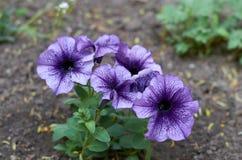 Cinque fiori porpora della petunia Immagini Stock