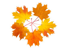 Cinque fogli di autunno dell'acero Immagine Stock