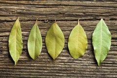 Cinque foglie dell'alloro Immagine Stock Libera da Diritti