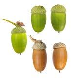 Cinque ghiande della quercia isolate su bianco Fotografie Stock