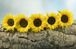 Cinque girasoli su un ceppo di legno Fotografia Stock
