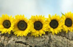 Cinque girasoli su un ceppo di legno Fotografia Stock Libera da Diritti