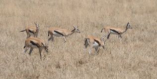Cinque Jackson Gazelles Tom Wurl di pascolo Fotografia Stock
