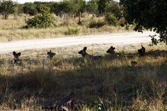 Cinque lupi verniciati Fotografia Stock