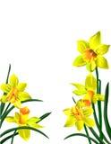 Cinque narcissuses luminosi dei fiori di colore giallo con verde Fotografie Stock Libere da Diritti