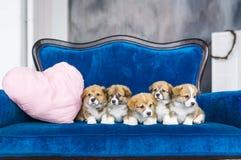 Cinque piccoli cuccioli incantanti su un sofà blu Festa della sorgente 8 marzo Immagini Stock