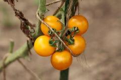 Cinque piccoli pomodori ciliegia gialli luminosi che crescono in un mazzo in giardino locale tenuto insieme da corda fotografia stock libera da diritti