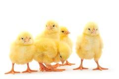 Cinque polli Immagine Stock Libera da Diritti
