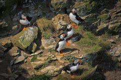 Cinque pulcinella di mare (arctica del Fratercula) Fotografia Stock Libera da Diritti
