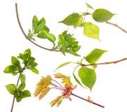 Cinque rami di albero verdi della molla isolati su bianco Fotografia Stock