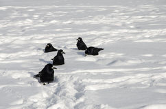 Cinque Ravens sulla neve bianca Fotografie Stock