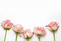 Cinque rose rosa su un fondo bianco, belle rose fresche fotografie stock