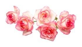 Cinque rose rosa su un fondo bianco, belle rose fresche immagini stock