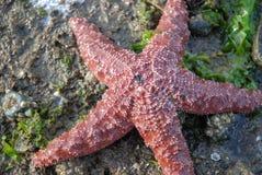 Cinque stelle marine rosse fornite di gambe sulla spiaggia Barnacled Immagine Stock Libera da Diritti