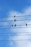 Cinque swallows Fotografie Stock Libere da Diritti