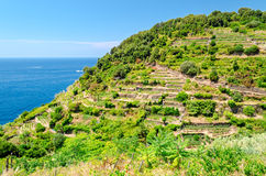 Cinque Terre (Liguria, Italy), green terraces Stock Image
