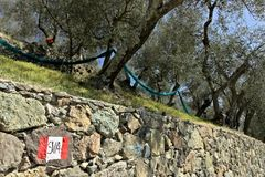 Cinque Terre, Liguria. A path among the olive trees stock images