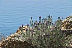 Cinque Terre, Liguria, turista que lleva del transbordador de Italy Un arbusto de la lavanda con un fondo del mar foto de archivo