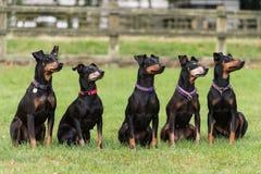 Cinque terrier di Manchester che si siedono nel campo Immagini Stock Libere da Diritti