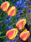 Cinque tulipani immagine stock