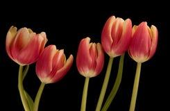 Cinque tulipani Fotografia Stock