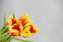 cinque tulipani rossi con le bande gialle su un fondo bianco Fotografie Stock