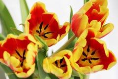 cinque tulipani rossi con le bande gialle su un fondo bianco Fotografia Stock