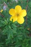 Cinquefoil arbustivo (fruticosa del Potentilla) foto de archivo libre de regalías