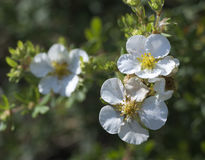 cinquefoil bush Стоковое Изображение RF