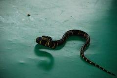 Cinta de Krayt (fasciatus) del bungarus - una serpiente venenosa imagen de archivo