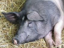 The Cinta senese , very ancient tuscan breed of domestic pig , lying down on straw Stock Photo