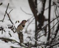 Cintilação do norte fêmea empoleirada em madeiras nevado imagens de stock royalty free
