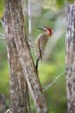 Cintilação do norte na árvore em ilhas de Grand Cayman fotografia de stock royalty free