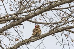 Cintilação Shafted amarela fêmea em uma árvore fotos de stock