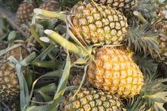 Cintilar amarelo maduro do abacaxi fotos de stock royalty free